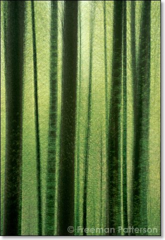 Edge of a Spring Forest I - By Freeman Patterson