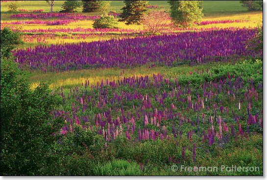 Lupins of the Field - By Freeman Patterson